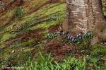 花を待つ桜の木の下で咲き始めたタチツボスミレ