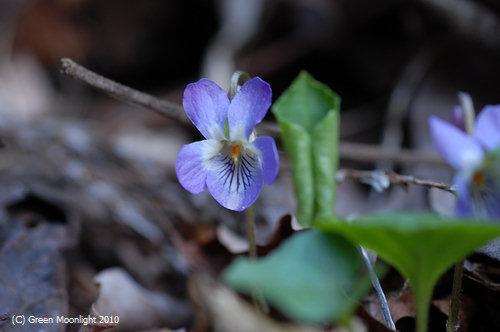 早春、人知れず、花を咲かせるエゾアオイスミレ
