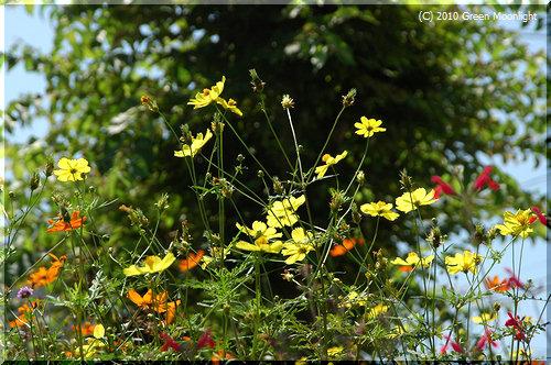 キバナコスモス、「黄花秋桜」より「夏桜」が似合うかな