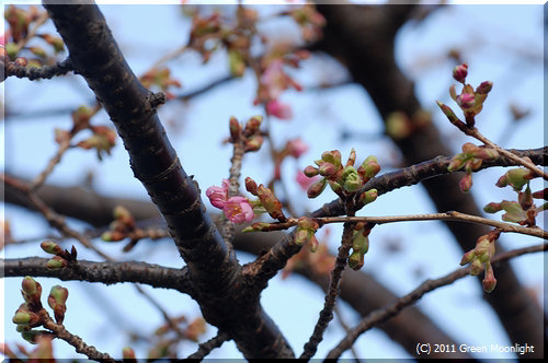 今年も春一番乗り カワヅザクラ(河津桜)