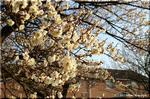 静かに、それでも華やかに咲いていた、空き地の梅の木