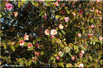 目立たない場所で静かに咲いていたツバキ(椿)