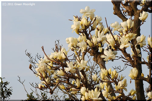 例年より少し遅れて咲きだしたハクモクレン(白木蓮)