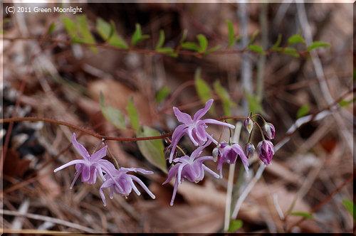 おとなしいけれど可愛い花を咲かせる イカリソウ(錨草)
