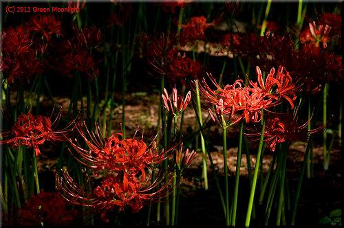 木漏れ日を受けて輝くヒガンバナ(彼岸花)