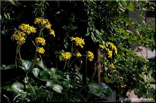 晩秋に咲く黄金色のツワブキ(石蕗、艶蕗)