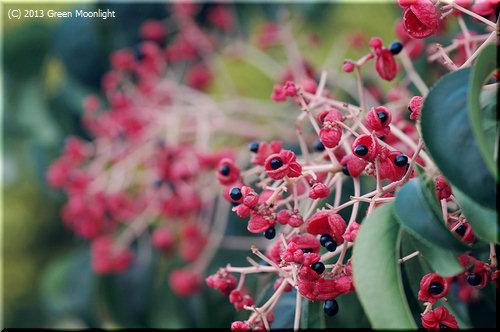 ゴンズイ(権萃)の赤い果実が秋を彩る