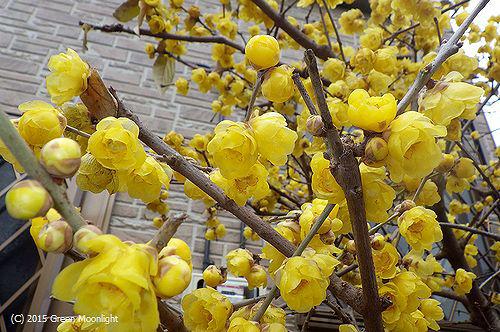 真冬の街角に甘い香りを放つソシンロウバイ(満月蝋梅)