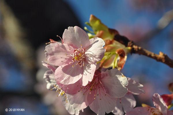 カワズザクラ(河津桜)