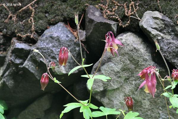 ヤマオダマキ(キンポウゲ科)