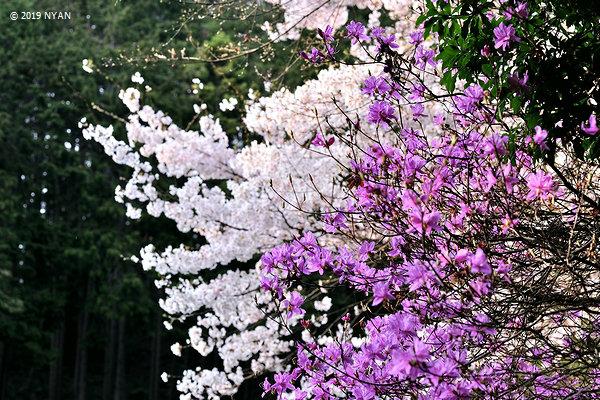 ソメイヨシノ(バラ科)