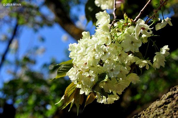 ウコン[桜](鬱金)(バラ科)