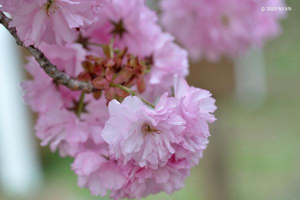 フゲンゾウ[桜](普賢象)(バラ科)
