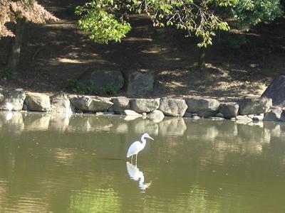 鷺池の鷺(望遠)
