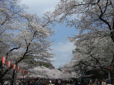 桜満開の回廊