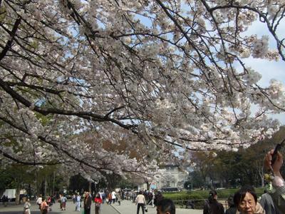 桜満開の回廊2