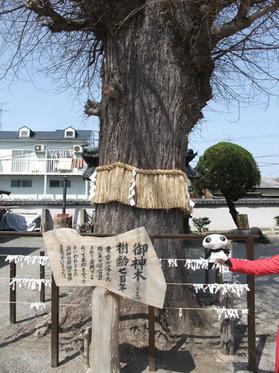 樹齢200年の銀杏