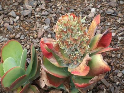サボテンの花4
