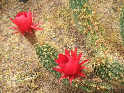 サボテンの花5