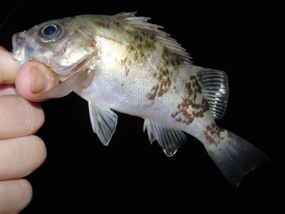 釣り情報 メバリング 釣果