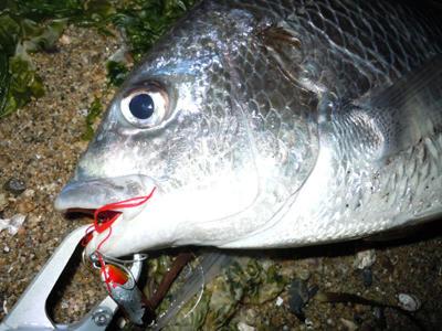 広島 釣り チヌ