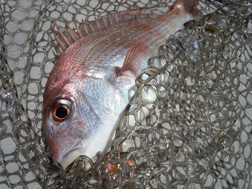 広島 ボーゲー 真鯛