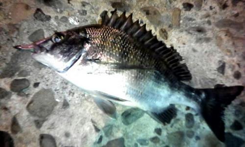 広島 釣り情報 チヌ