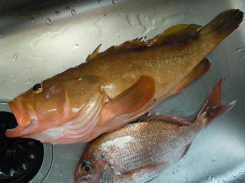 広島 アコウ 真鯛
