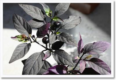 purplechilli.jpg