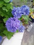 グフな紫陽花