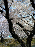 五○川の桜