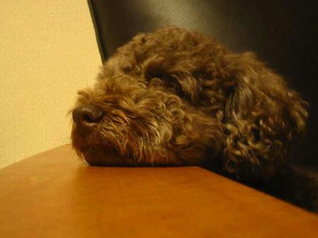 ソファーのひじかけにあごを乗せて寝るぷるぷる.jpg