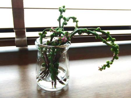 有機野菜 つるむらさきの花芽