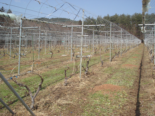 エーデルワイン試験栽培圃場(№1圃場)