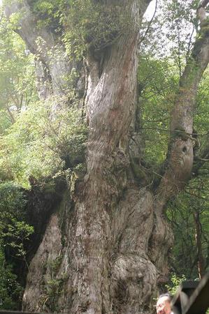 縄文杉 樹齢7200年