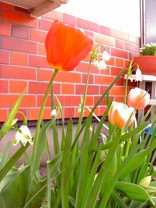 こんなキレイなチューリップ、咲いてほしい