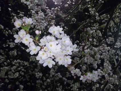 夜桜もよいねー