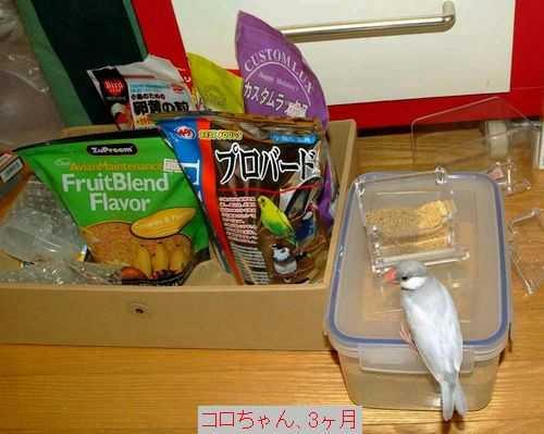 シルバー文鳥 東京のコロちゃん