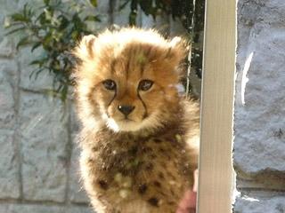 多摩動物公園 チーターの赤ちゃん