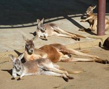 多摩動物公園 カンガルー 皆揃って日向ぼっこ