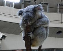 多摩動物公園 コアラ