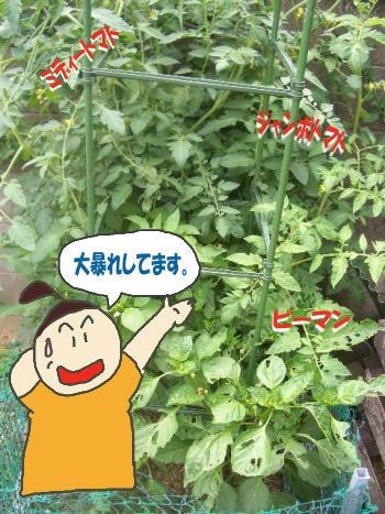 大暴れトマト畑.JPG