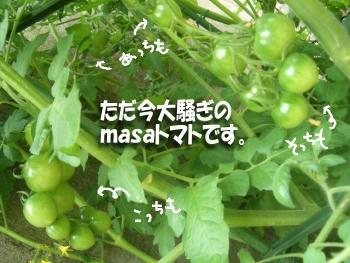 大騒ぎmasaトマト.JPG