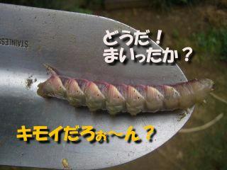 シモフリスズメ、蛹への変化.JPG