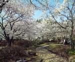 姫路城の桜並木