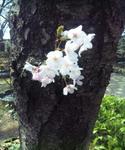 姫路城の桜の幹に咲いた花びら