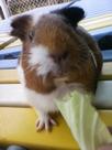 天竺ネズミ