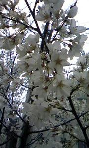 1003_sakura.jpg