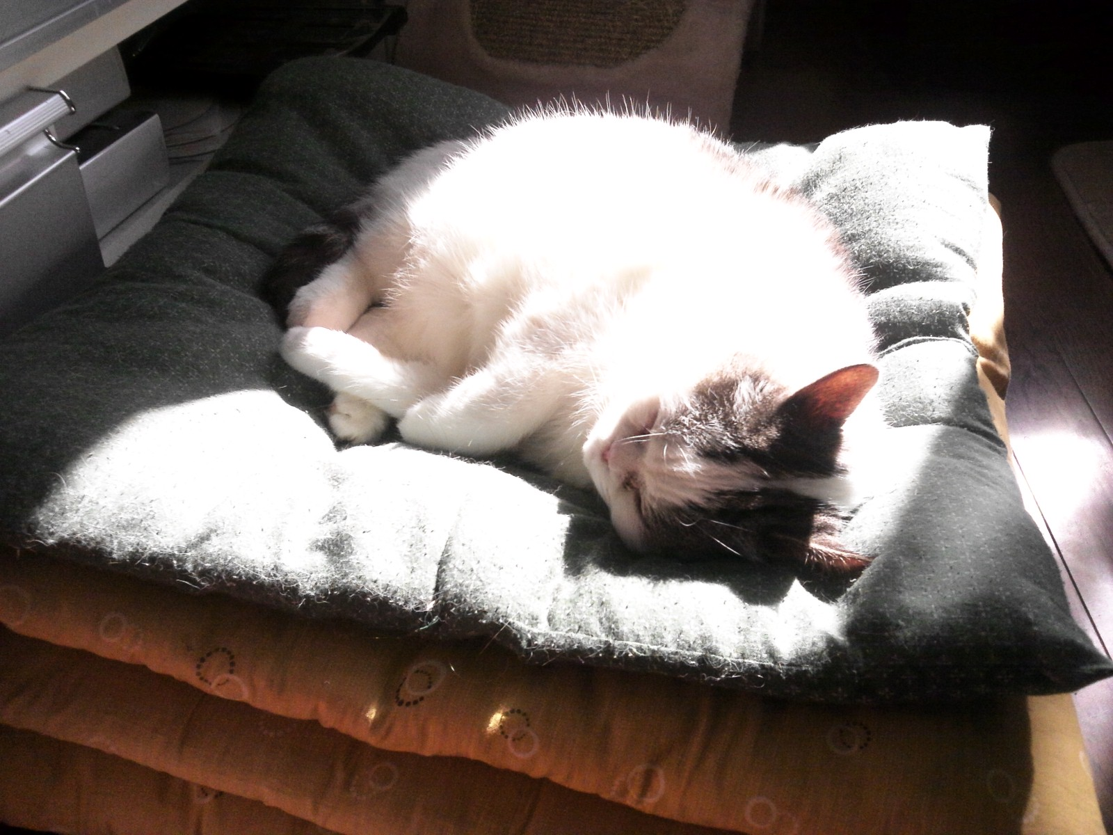 座布団猫。