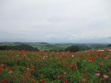 美瑛 「四季彩の丘」